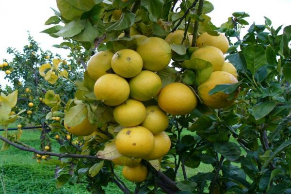 Citrus orchards photo