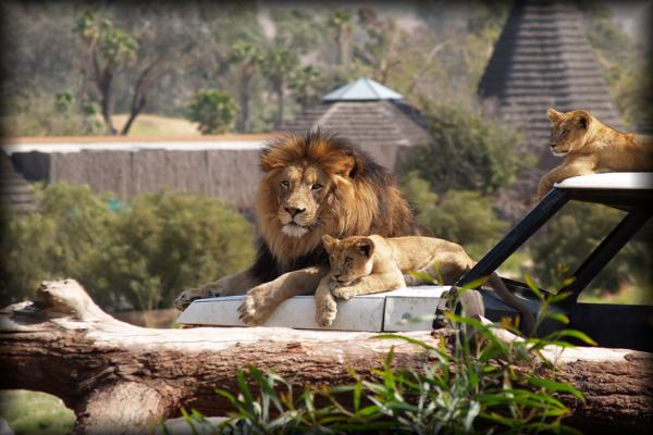 Lions Safari Park photo
