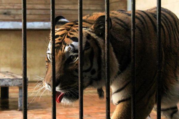 Tiger at Varna Zoo photo