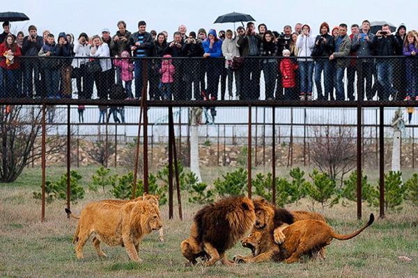 Парк львов «Тайган» фото