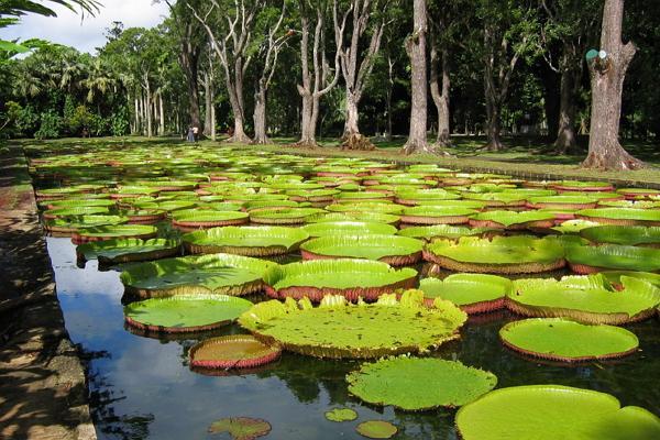 Ботанический сад Памплемус фото